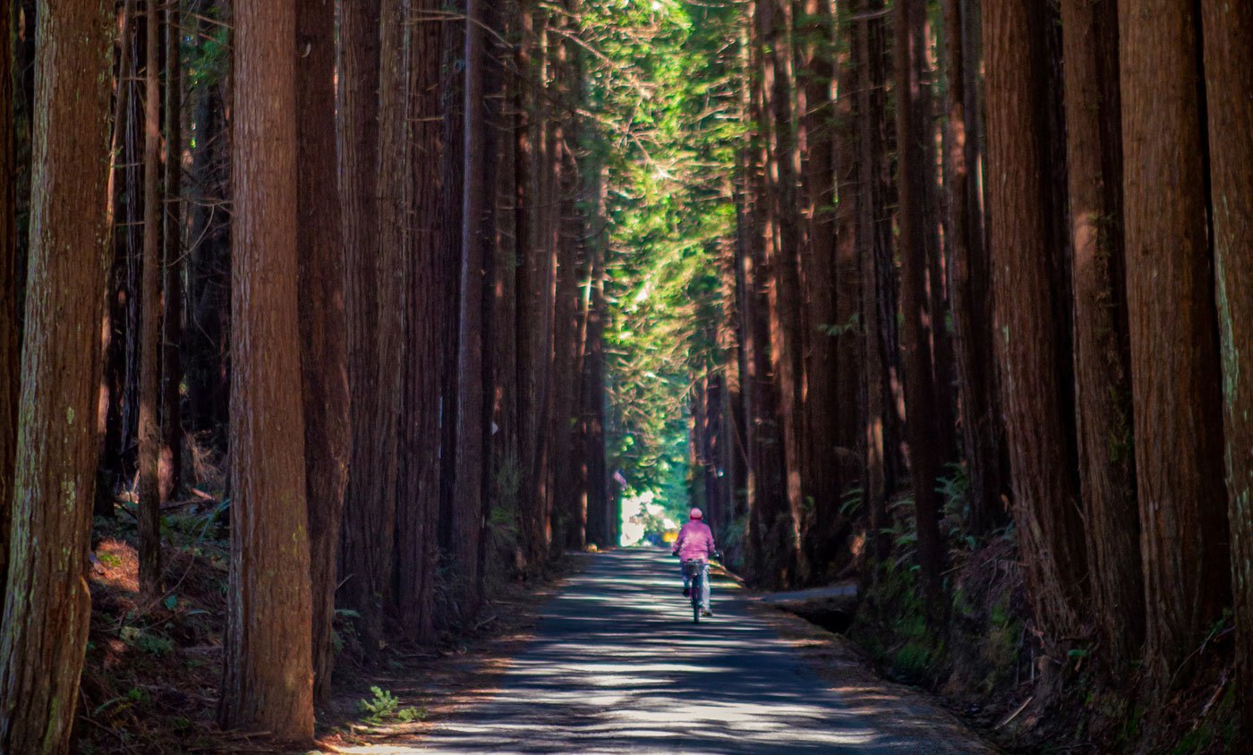 Bike Along a Redwood-lined Road