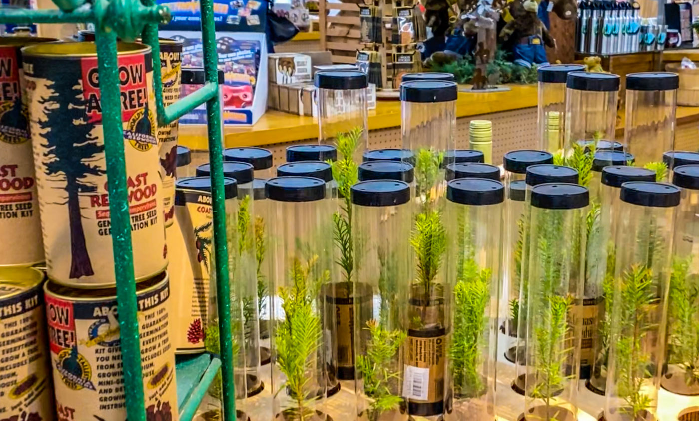 Purchase a real California Redwood tree seedling at the Trees of Mystery gift shop