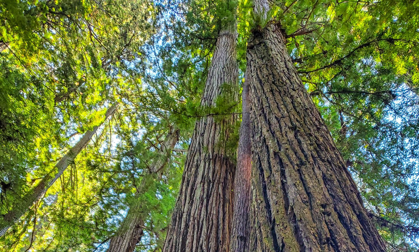 See the Largest Coastal Redwood Trees in Del Norte County, California